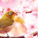 桜の名所に行く花見旅行・ツアー特集